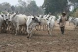 Delta community prohibits beef consumption over herders' attacks